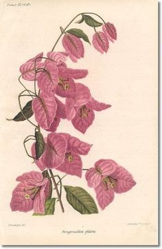 Revue Horticol - Botanical Print - Illustrated Book Plate Illustration from Revue Horticole 1800s - Botanical Print -  12 - BOUGAINVILLEA Painting