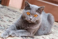 Karmy dla kotów brytyjskich:  http://www.kakadu.pl/Karmy-dla-kotow/karmy-dla-kotow-brytyjskich.html