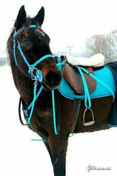 Beautiful teal tack on bay horse