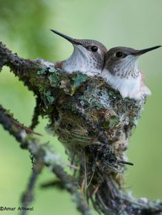 Rufous Hummingbird .chicks: photo by Amar Athwal on 500px