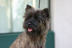 "Our little ""Ace"" is 1/2 Cairn terrier and 1/2 Poodle....Cairnpoo"