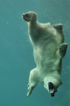 Polar bear taking a swim... trying to catch a meal?