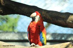 Ara rossa - 6 aprile 2015 presso zoo Natura Viva a Bussolengo. Canon EOS 1200D.