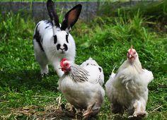 Bunny herding chickens