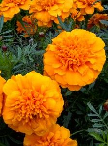 Marigolds, my ultimate favorite! i love the way they look, their color, and best of all their fragrance American Meadows, Natural Mosquito Repellant, Green Garden, Zinnias, Orange Flowers, Marigold, Flower Power, Flora, Autumn Colours