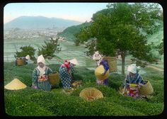 Picking tea leaves, Shidzuoka  Enami Studio Lantern Slide No : 583.  About 1920's, Japan