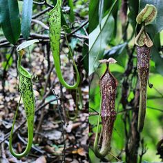 In some habitats bats will sleep nowhere else but within these pitchers of Nepenthes hemsleyana (syn baramensis). The plants derive much of their nutrients from the bat's droppings.  #nepenthes #mutualism #pitcherplants #tropicalplants #carnivorousplants #rainforest #bat #adventure #backpacking #exploring #hiking #trekking #wanderlust #jungle  #borneo #malaysia #brunei #nature #travel #habitat #botany #plants #plantsofinstagram #plantlife by laurenttaerweplantphotos