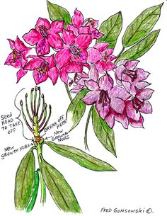 One of the Spring rituals that I still do, started in the early 1970's with my Mother. It is the neatening up of the Rhododendron bush after it blooms. My Mother and I would go outside on a l…