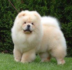 Cream white chow chow - My ideas Cute Little Puppies, Cute Dogs And Puppies, Baby Puppies, Cute Little Animals, Cute Funny Animals, Pet Dogs, Doggies, Chow Chow Branco, White Chow Chow