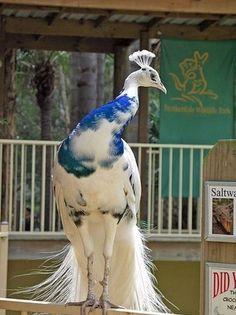 Blue Peacock #bird #animal