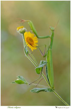 #mantide #macrofotografia #fioregiallophoto #insetti
