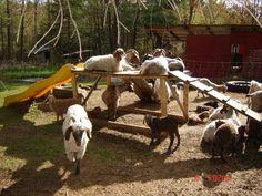 goat playground #babygoatfarm