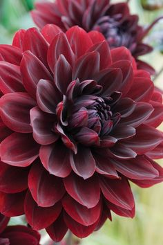 "Arabian Night Dahlia (6-8"" bloom; 3-3.5' bush): deep crimson color."