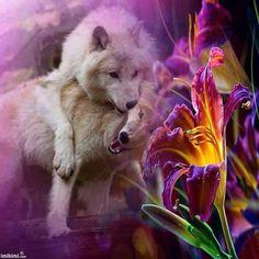 Beautiful pair of Wolves