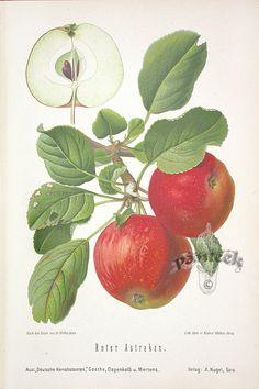 antique fruit prints - Поиск в Google