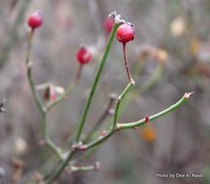Rosehips on 'Cliffs of Dover' a very easy rose to grow. Tiny, white, single flowers give way to these glorious red hips.
