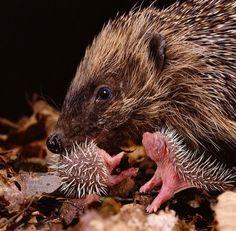 Mother hedgehog tending her babies