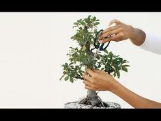 Como Fazer Bonsai - Poda de Manutenção Pt1 - 47