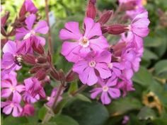 Silene 'Rolly's Favorite'