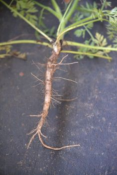 Roots to harvest in the fall: Queen Anne's Lace Root - Herbal Academy -- Be very careful, though. Hemlock looks very much like Queen Anne's lace, and it's poison! Healing Herbs, Medicinal Plants, Edible Wild Plants, Herbs For Health, Plant Identification, Living Off The Land, Wild Edibles, All Nature, Growing Herbs
