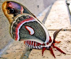 The Cecropia Moth (Hyalophora cecropia) is North America's largest native moth