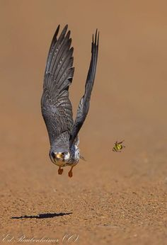 High Speed atack on an insect Amur Falcon