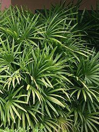 Rhapis excelsa - Palmeira-rápis, Jupati, Palmeira-ráfia - palmeira ereta e entouceirada, muito utilizada na decoração de interiores. Deve ser cultivada sob sol pleno, meia-sombra, sombra. até 3m de altura.