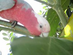 LOST GALAH COCKATOO: 29/12/2015 - Clarence Town, New South Wales, NSW, Australia. Ref#: L22468 - #ParrotAlert #LostBird #LostParrot #MissingBird #MissingParrot #LostGalahCockatoo #MissingGalahCockatoo