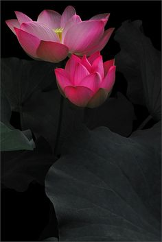 paintswithwords:  agoodthinghappened:  Lotus flower - IMG_5179-1-800 by Bahman Farzad on Flickr.  :)