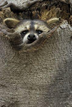 paul2francis:    Raccoon