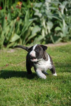 Kleiner Wilder Bull Terrier Puppy, English Bull Terriers, Pit Bulls, Bullies, Beautiful Dogs, Bellisima, Angels, Pets, Friends