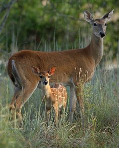 Mother and baby deer stock image Image of deer, morning 10513339 is part of Animals - Photo about An early morning view of a doe and a young, spotted fawn Whitetail deer; species Odocoileus virginianus TIFF file Image of deer, morning, fawn 10513339 Forest Animals, Nature Animals, Animals And Pets, Cute Animals, Strange Animals, Beautiful Creatures, Animals Beautiful, Hirsch Silhouette, Deer Photos