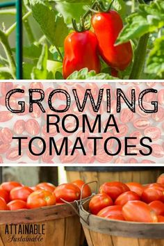 Roma tomatoes are a meatier, less seedy variety of tomato, perfect for cooking up into thick, rich sauces or for dehydrating. Growing Roma tomatoes in your garden is a great way to stock your pantry with home canned items like marinara sauce, salsa, or pizza sauce. #garden #growingfood #homestead via @Attainable Sustainable