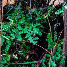 Adiantum chilense, helecho nativo creciendo en condiciones naturales en el #Bosque #PlantasChilenas Natural, Fruit, Instagram, Native Plants, Fern, Vertical Gardens, Woods, The Fruit, Nature
