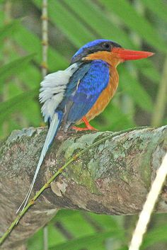 Buff-breasted Paradise Kingfisher (Tanysiptera sylvia). A tree kingfisher: nests only in termite mounds