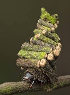 """Meet the Bagworm Moth Caterpillar who constructs miniature """"log cabins"""" by collecting little twigs and building them into tiny protective houses which they live in! Note how similar the construction is to a strand of DNA. Photo by Nick Bay. Little Log Cabin, Foto Macro, Moth Caterpillar, Beautiful Bugs, Animal Rescue Shelters, Natural World, Pet Birds, Animal Pictures, Creatures"""