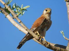 Malagasy Kestrel (Falco newtoni); classified as least concern (LC); 9-11 inches tall with a wingspan of 19-23 inches.