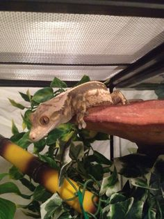 Coconut on his mushroom ledge from Pangea Reptile.