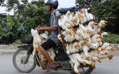 Man carries several ducks on a motorcycle in the province of Ha Nam, Vietnam