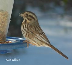 Song Sparrow - Photo by Alan Wiltsie