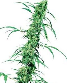 After much experimenting with different Sativa and Indica genotypes, Sensi Seeds have produced  Fruity Juice.