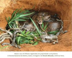 New: king cobra snake king cobra eating king cobra eating another snake king cobra eating rat & mouse