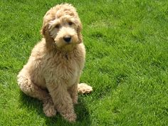 Goldendoodles are my favorite :)