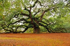 Amazing tree, I remember climbing on it as a little girl..