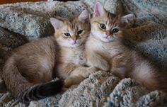 Litter D, Kitty DARIUS, male, D.o.b. 16 June 2015 - Irina Sopran - Picasa Web Albums
