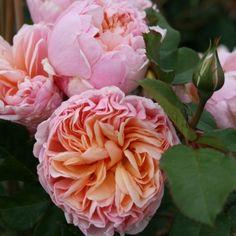 'Alexandrine', Edelrose in apricot-creme Farbspiel, nostalgisch mit gigantischem Duft, Probleme bei Regen