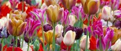 Stagger Plant Your Bulbs for Long Lasting Blooms - Palmers Garden Centre Tulips Garden, Garden Bulbs, Planting Bulbs, Daffodils, Palmers Garden Centre, Weed Killer, Spring Bulbs, Bulb Flowers, Flower Beds