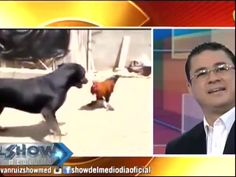 El Video De La Pelea Entre Un Gallo Y Un Perro #Video