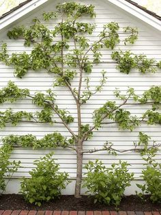 A variety of trees have now been trained to branch horizontally. http://media-cache2.pinterest.com/upload/56787645271165883_4uGoTmOF_f.jpg bhg gardening trends
