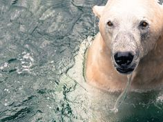 Polar Bear by kaigloth #animals #animal #pet #pets #animales #animallovers #photooftheday #amazing #picoftheday